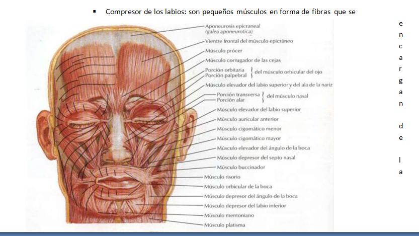 Músculos Faciales   ODONTOLEARN